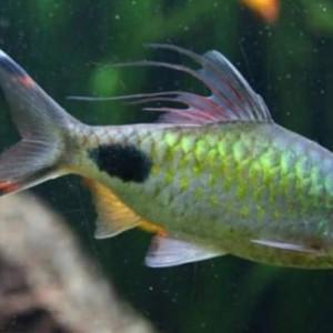 Banc de 10 dawkinsia filamentosus poissons asiatiques