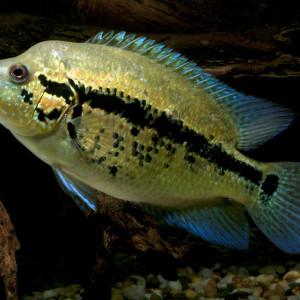 parachromis dovii