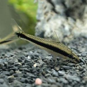 crossocheilus oblongus, mangeur d'algues