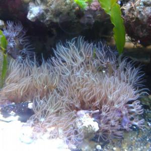 Boutures coraux mous / briareum