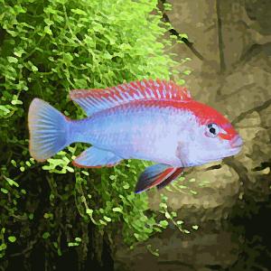 Pseudotropheus red dorsal (6 à 8 cm)