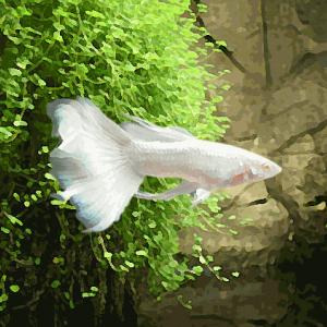 Guppy mâle platinum super white (environ 3.5 cm)