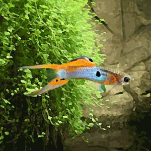 Guppy japan blue double épée rouge (par couple) (environ 2 cm)