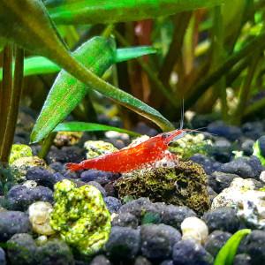 Crevettes Red Cherry