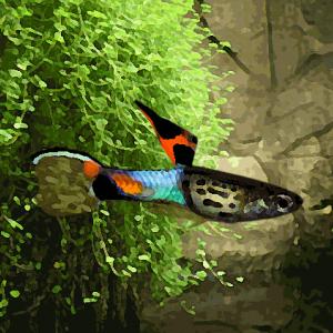 Guppy mâle endler top sword blue cobra venezuela (campoma n°8) (environ 2 cm)