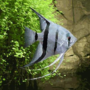 Scalaire bleuté (4 à 6 cm)