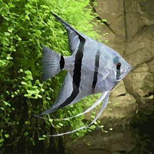 Scalaire bleuté (environ 4 cm)