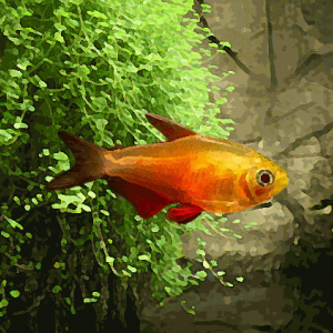 "Tetras de rio ""orange"" (environ 3 cm)"