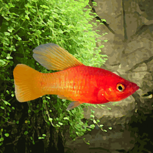 Platy neon orange voile (environ 3.5 cm)