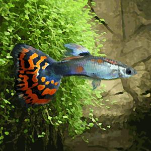 Guppy mâle mosaïque rouge (environ 3.5 cm)