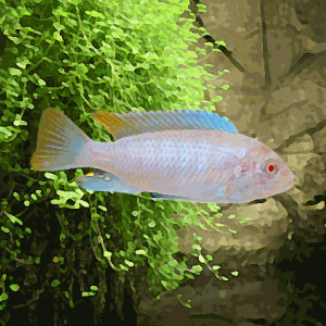 Pseudotropheus socolofi albinos (environ 5 cm)