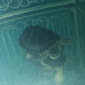Pelomédusa