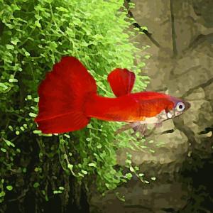 Guppy male rouge bordeaux (environ 4 cm)