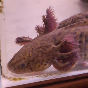axolotl a réserver