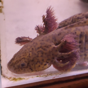axolotl femelle sauvage
