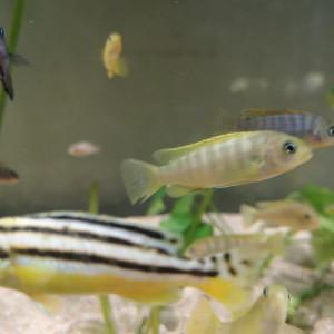 Pseudotropheus saulosi et socolofi
