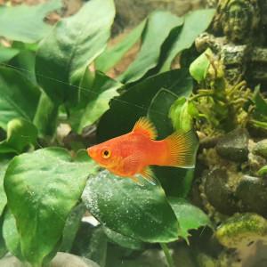 Xiphophorus red