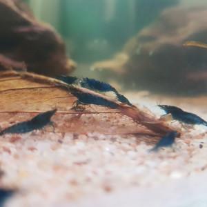 neocaridina davidi blue velvet