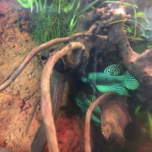 Betta alien vert
