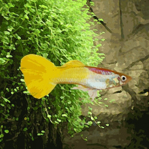 Guppy male jaune citron (environ 4 cm)
