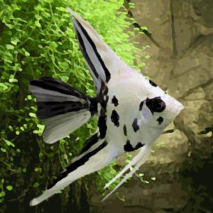 Scalaire panda voilé (environ 4 cm)