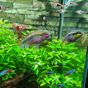 Couple de pelmato (pelvicachromis pulcher)