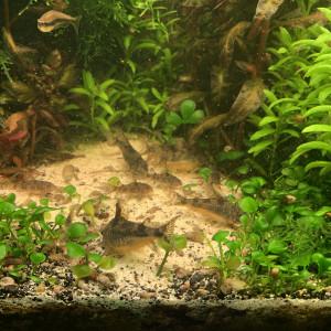 Corydoras paleatus 2cm