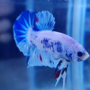 Betta Bleu marbré TA01