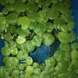 Limnobium Laevigatum plante flotante