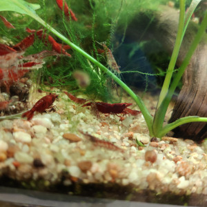 Crevettes red cherry