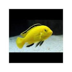 labidochromis caeruleus Gratuit