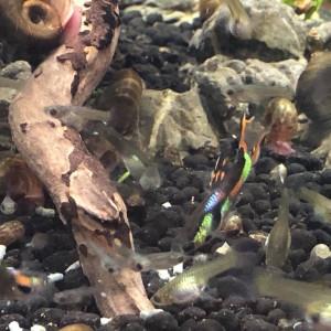 Don d'escargots nettoyeurs eau douce froide