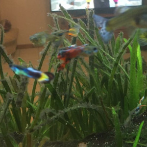 Guppy endler/normaux + plantes