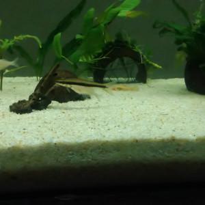 Recherche poisson siamoisis