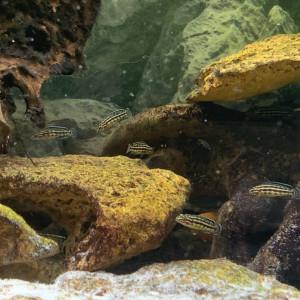 Juvéniles Julidochromis Regani X Malieri
