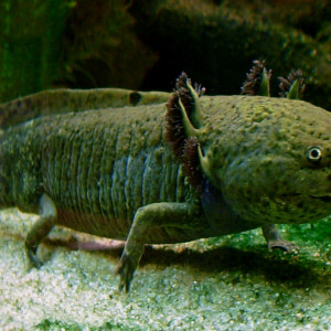 recherche axolotl au alentour de Montélimar Drôme 26 je possede un aquarium de 250litre