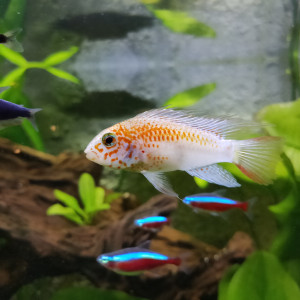 Couple Apistogramma Viejita Gold