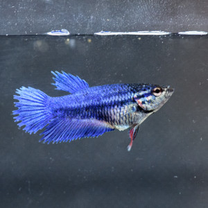 Betta femelle crowntail (1)