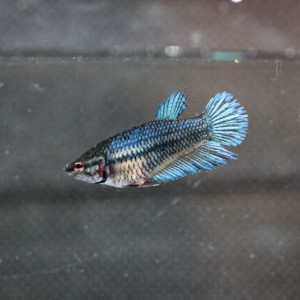 Betta femelle crowntail (2)