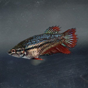 Betta femelle crowntail (3)