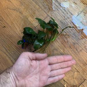 Anubia Nana Moyenne 6-8cm