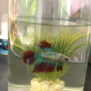 Poisson betta half moon
