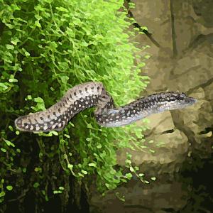 Mastacembelus leopard (6 à 8 cm)