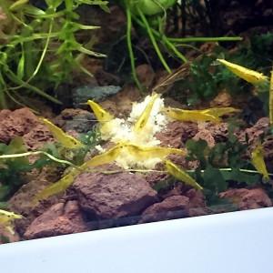 Crevettes yellow