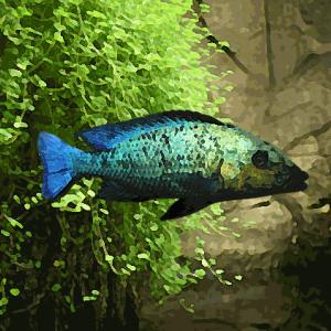 Fossorochromis rostratus (environ 5 cm)