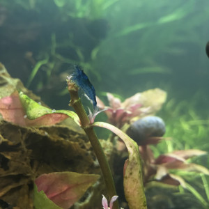 Crevette Neocaridina bleue