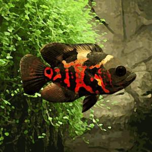 Oscar tigre rouge (environ 5 cm)