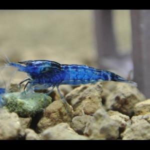 Neocaridina heteropoda Blue Velvet / Blue Dream