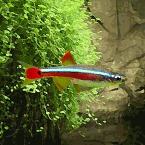 Tanichtys (environ 2 cm)
