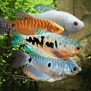 Gourami (environ 6 cm)